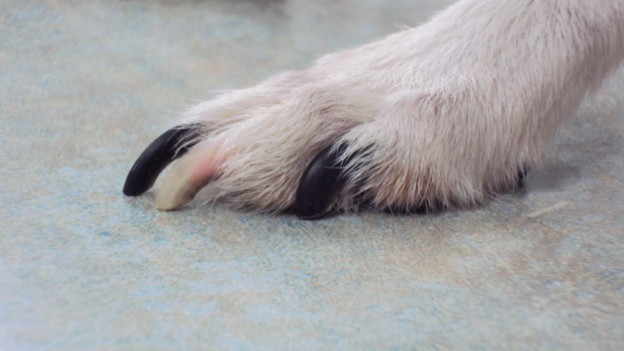 How To Trim A Dog S Nails That Are Afraid