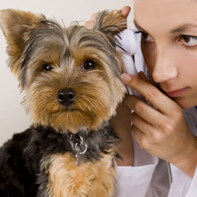 veterinarian examining dog ear