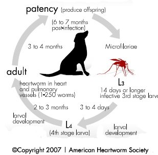 heartwrom life cycle