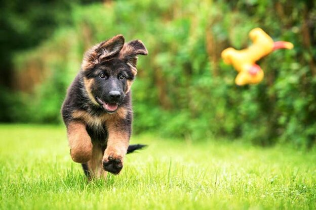 german shepherd puppy playing fetch